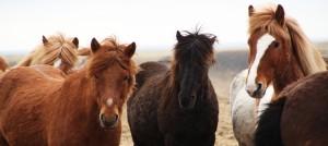 Heste omslag